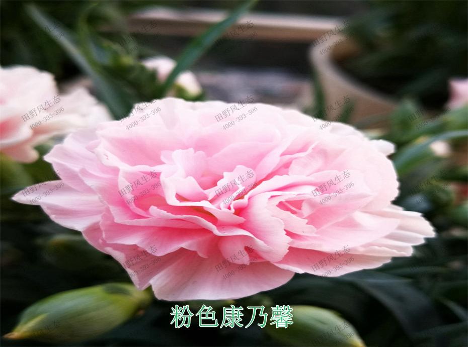 2粉色康乃馨