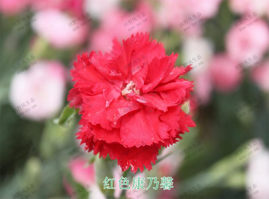 3红色康乃馨