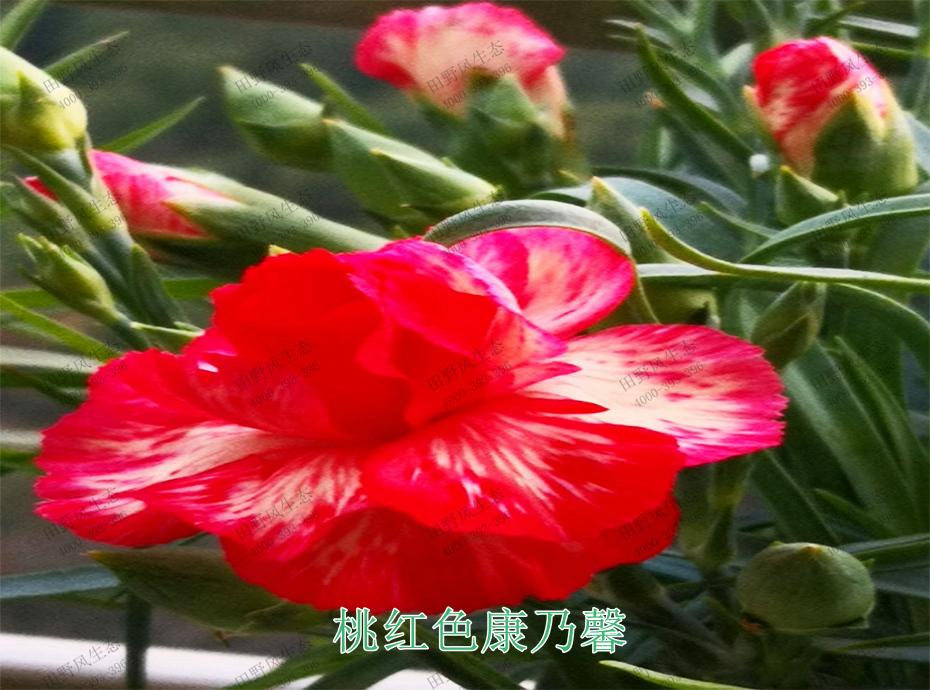 4桃红色康乃馨