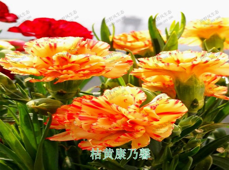 6桔黄康乃馨