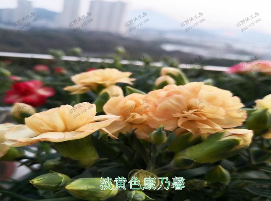 7淡黄色康乃馨