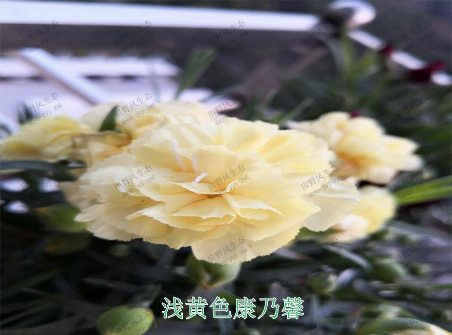 8浅黄色康乃馨