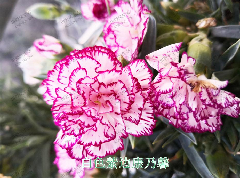 9白色紫边康乃馨