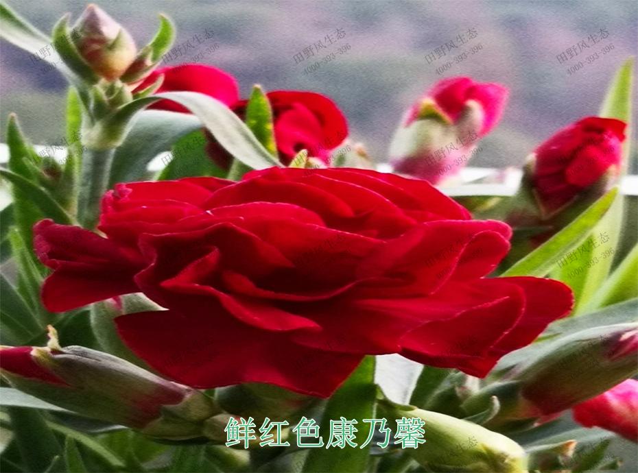 10鲜红色康乃馨