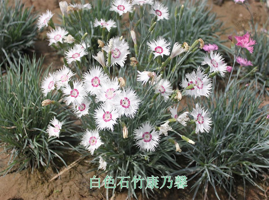 11白色石竹康乃馨