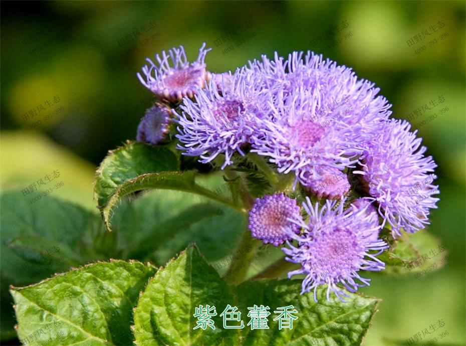 2紫色藿香