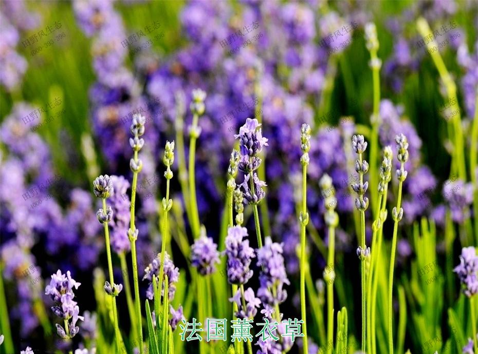 4法国薰衣草