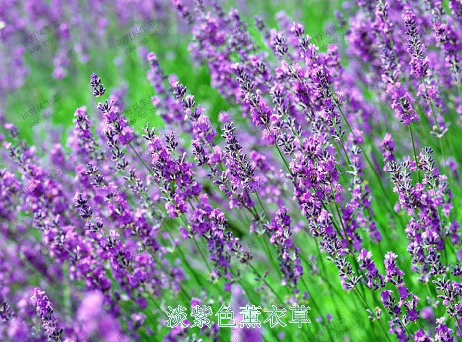 5淡紫色薰衣草