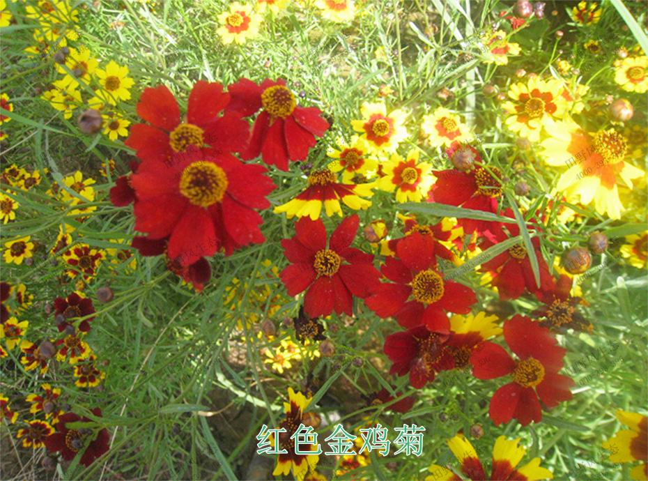 3红色金鸡菊