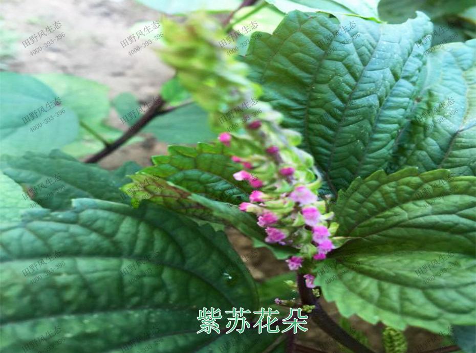 2紫苏花朵
