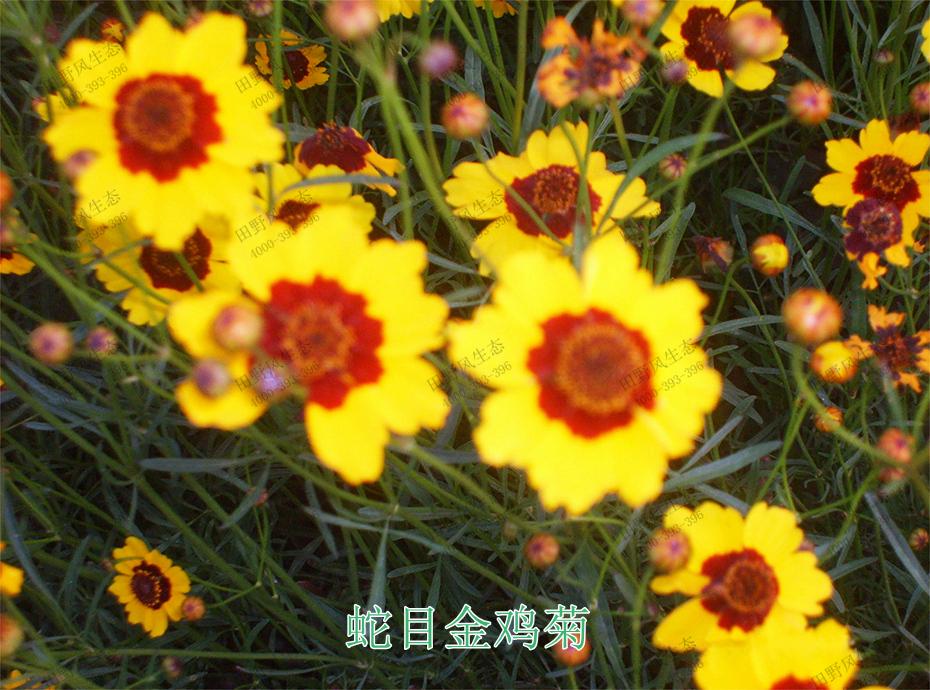 4蛇目金鸡菊
