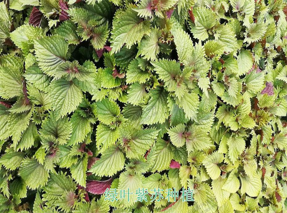 5绿叶紫苏种植
