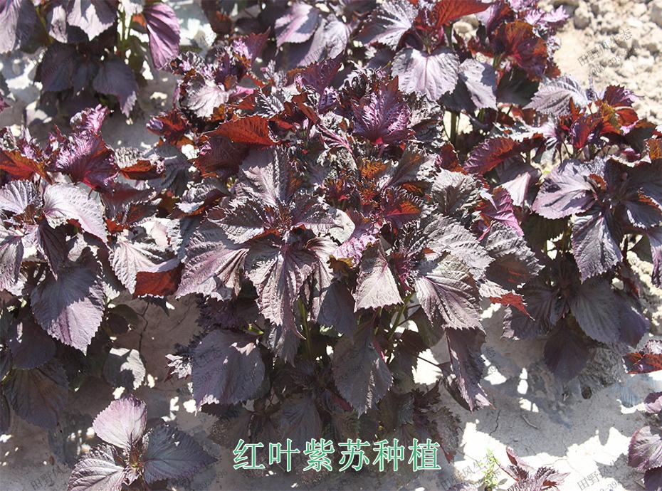 6红叶紫苏种植
