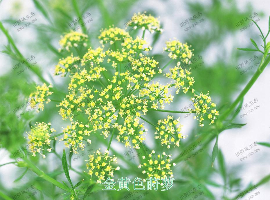 2金黄色莳萝