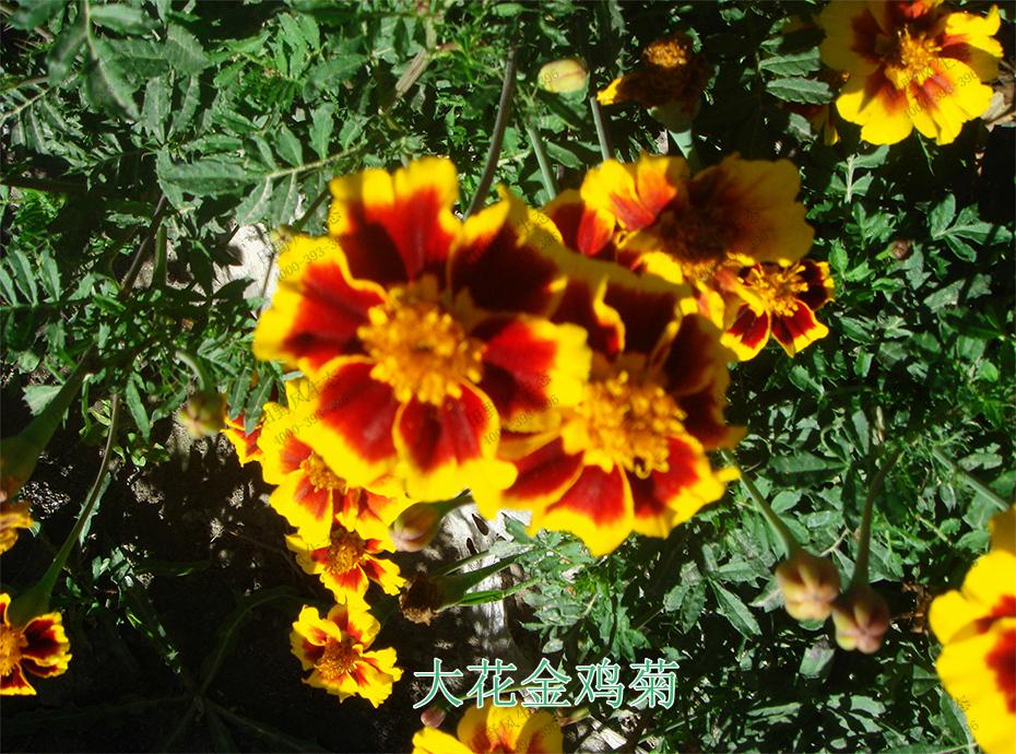 5大花金鸡菊