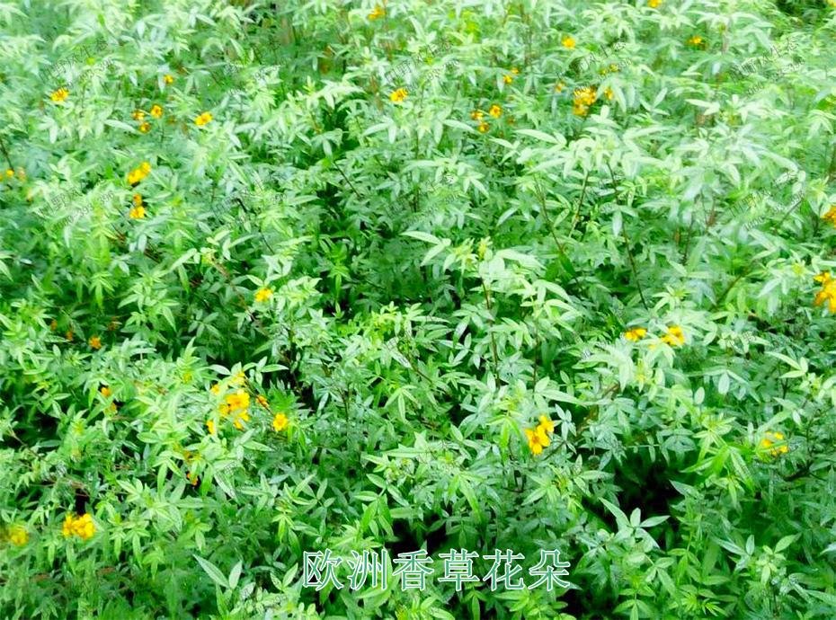 4欧洲香草花朵