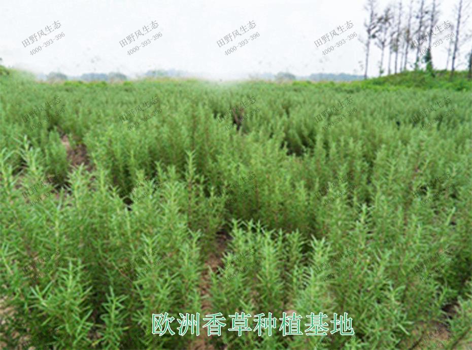 6欧洲香草种植基地