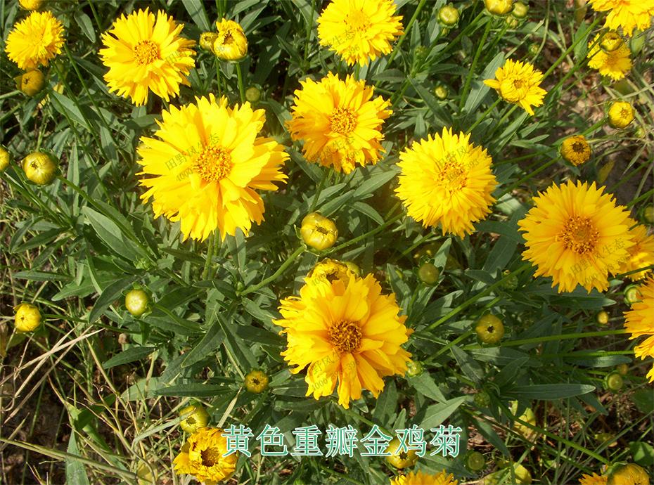 6黄色重瓣金鸡菊