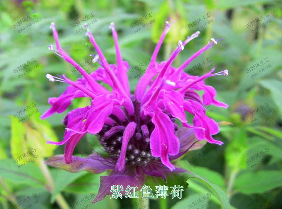 4紫红色薄荷