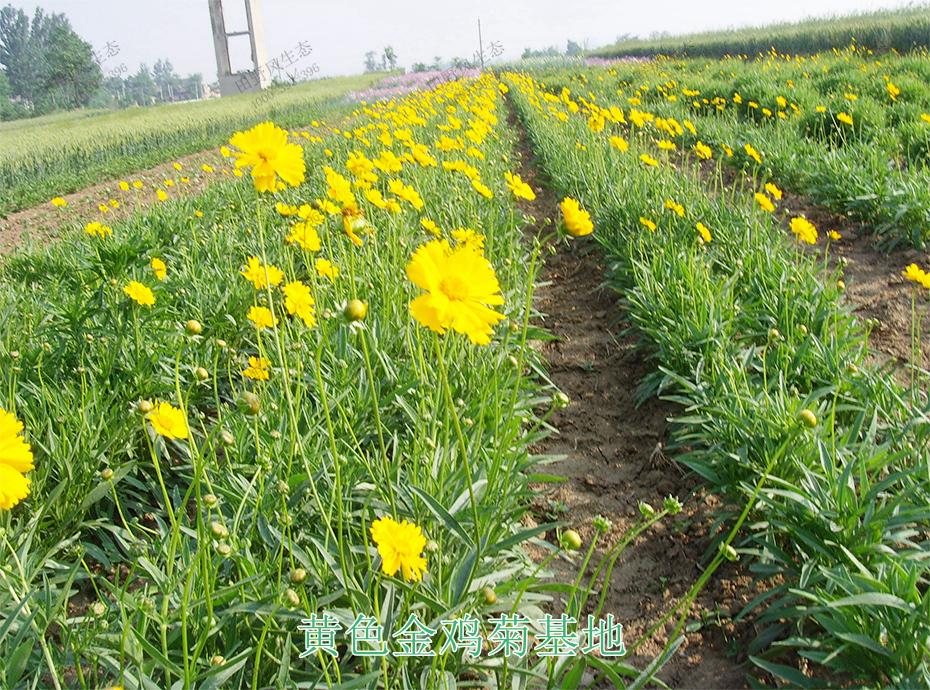 9黄色金鸡菊基地