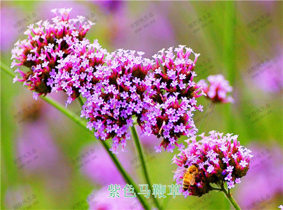 2紫色马鞭草