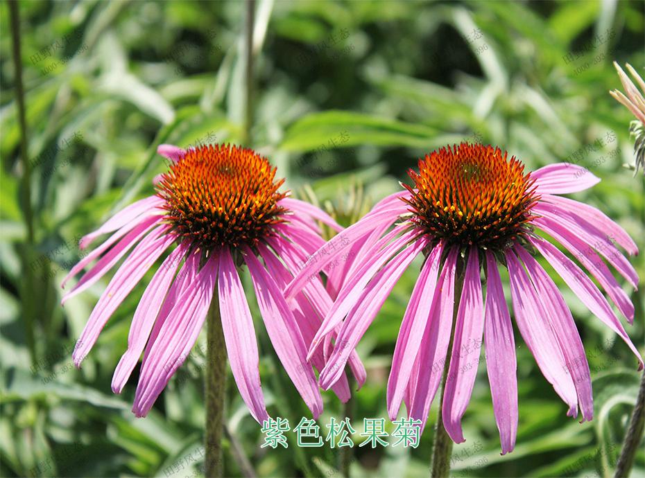 2紫色松果菊
