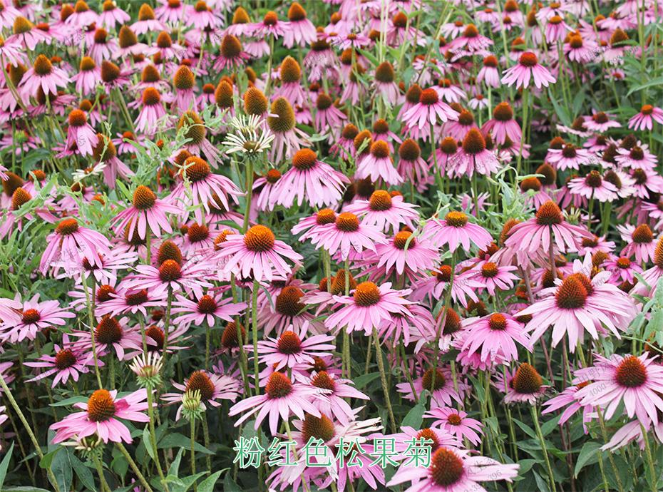 4粉红色松果菊