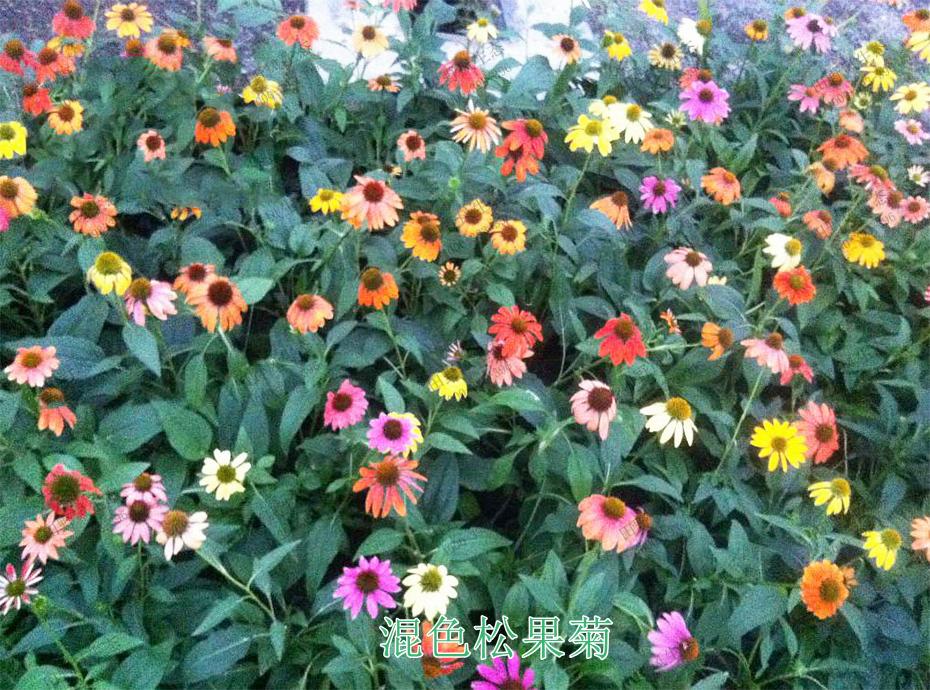 5混色松果菊