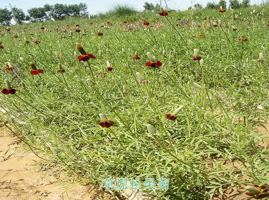 6草原松果菊