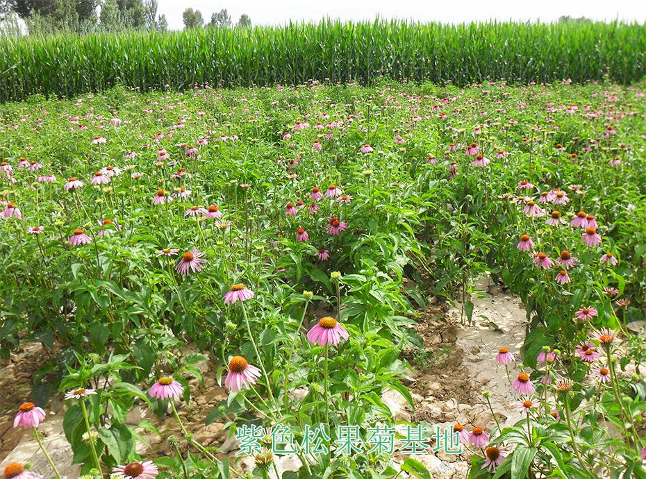 7紫色松果菊基地