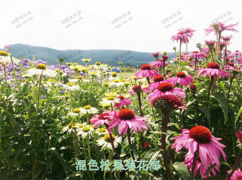 8混色松果菊花海