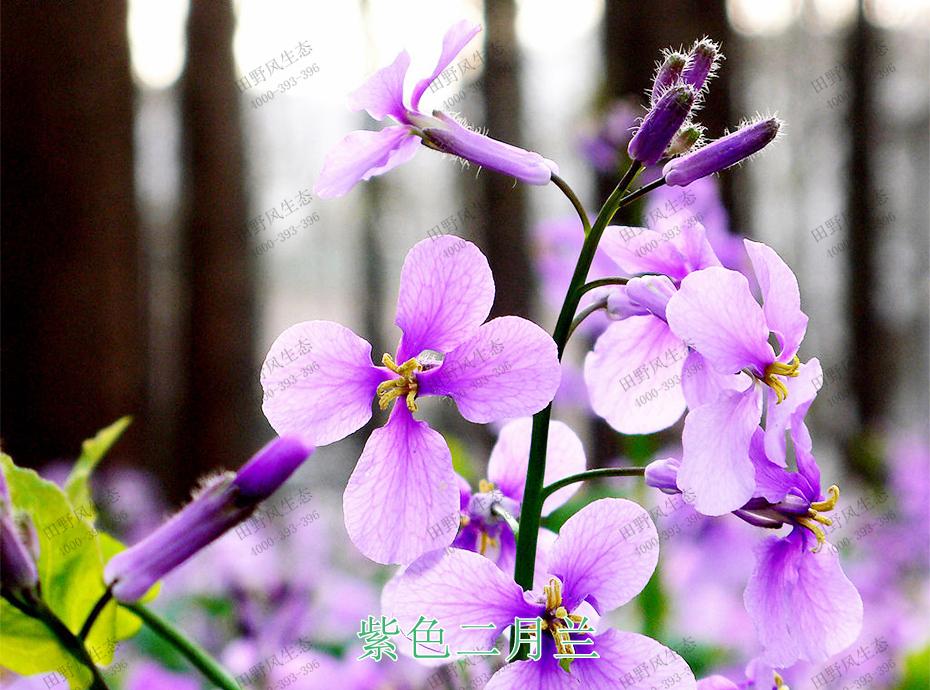 3紫色二月兰