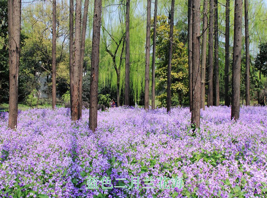 5蓝色二月兰花海