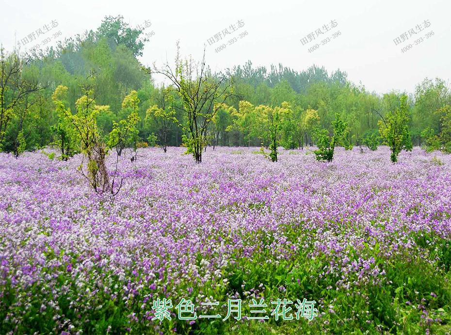 6紫色二月兰花海