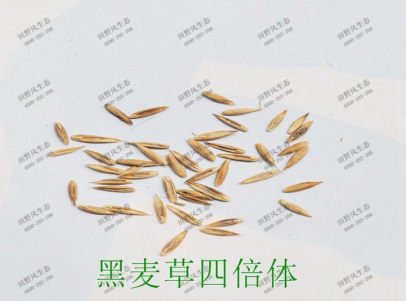 5黑麦草四倍体