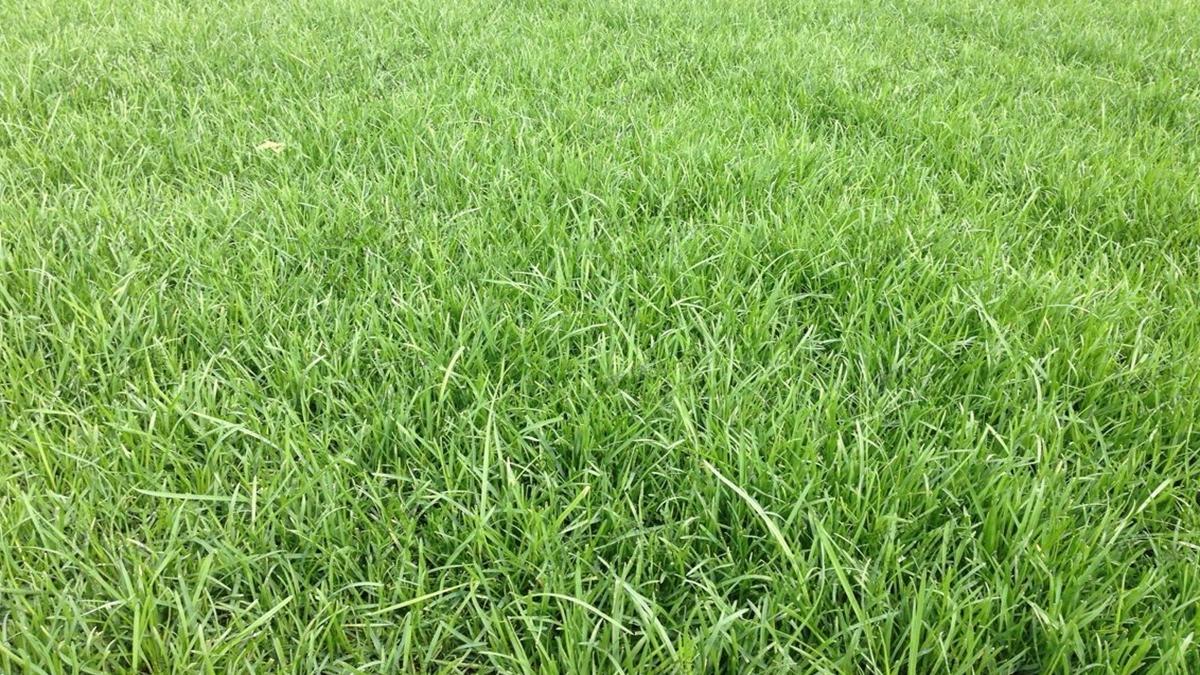 草坪草种混播