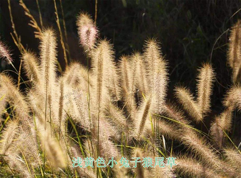 3浅黄色小兔子狼尾草