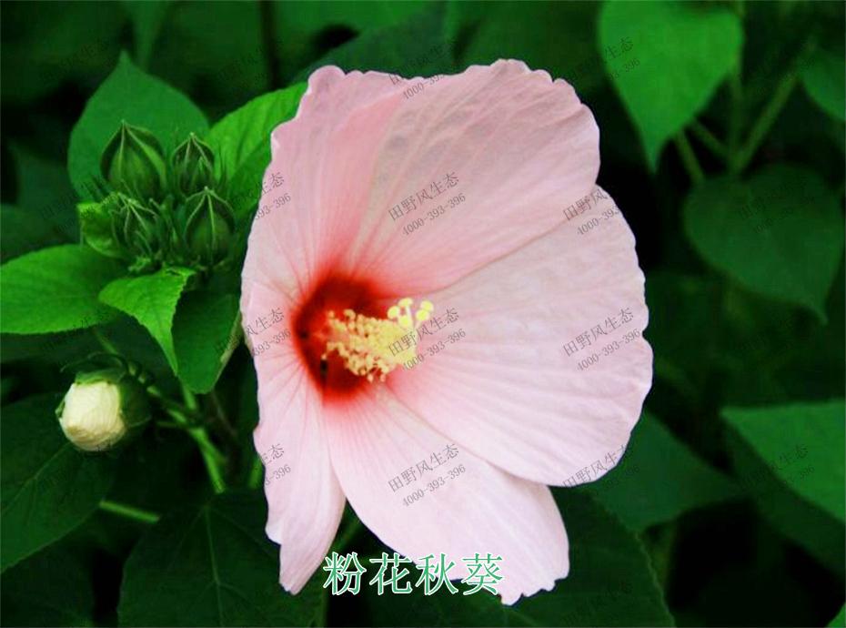2粉花秋葵