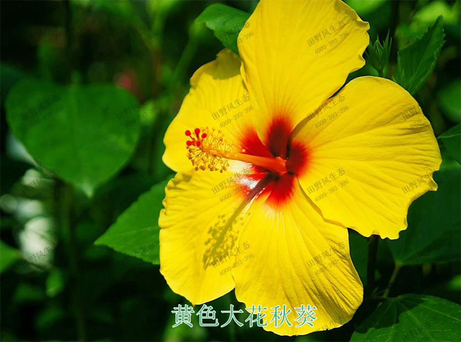 4黄色大花秋葵