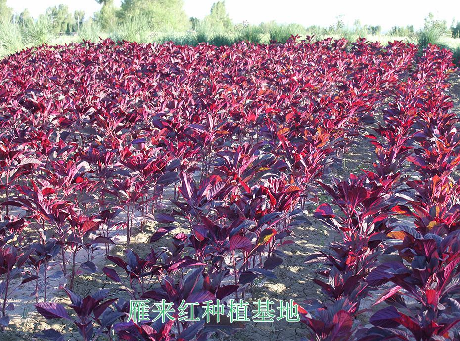 8雁来红种植基地