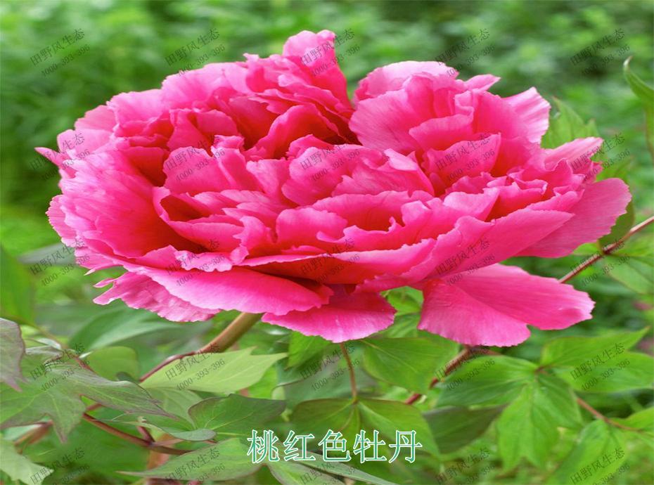 4桃红色牡丹