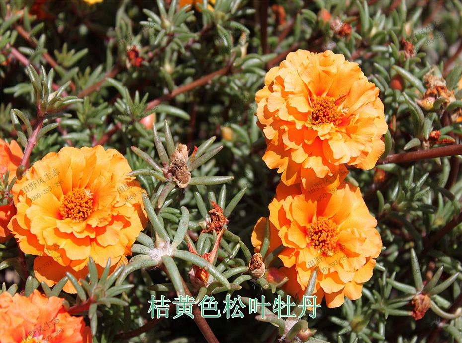 5桔黄色松叶牡丹