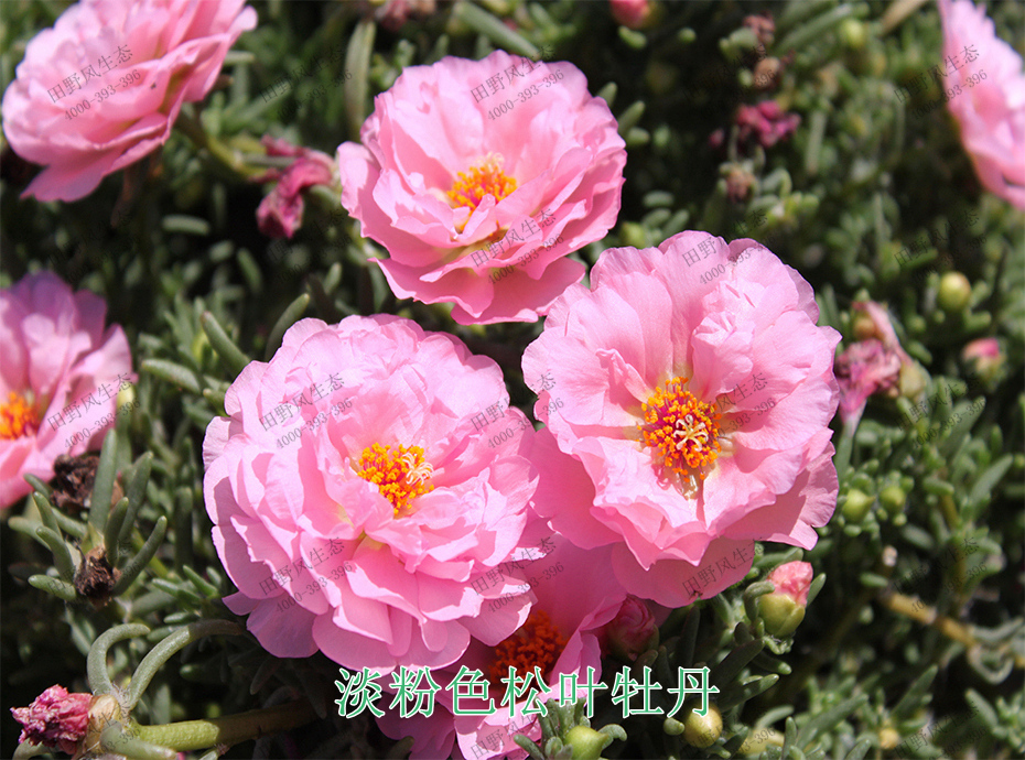 6淡粉色松叶牡丹