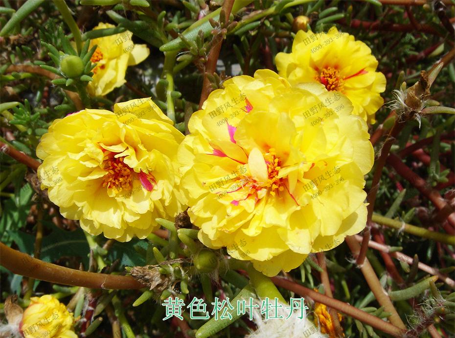 8黄色松叶牡丹