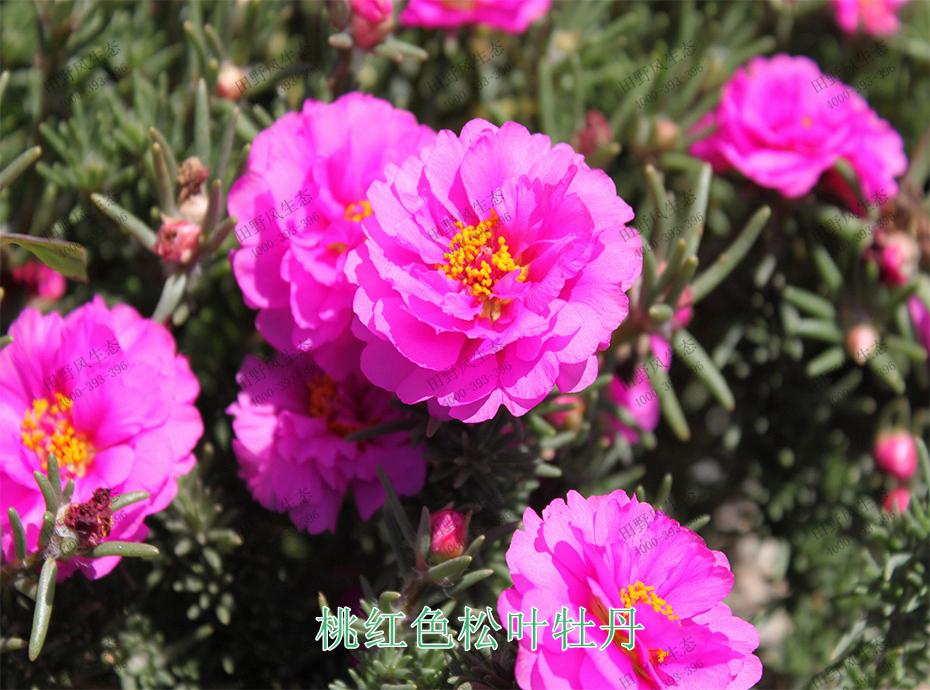 9桃红色松叶牡丹