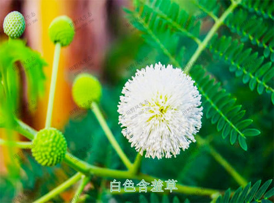2白色含羞草