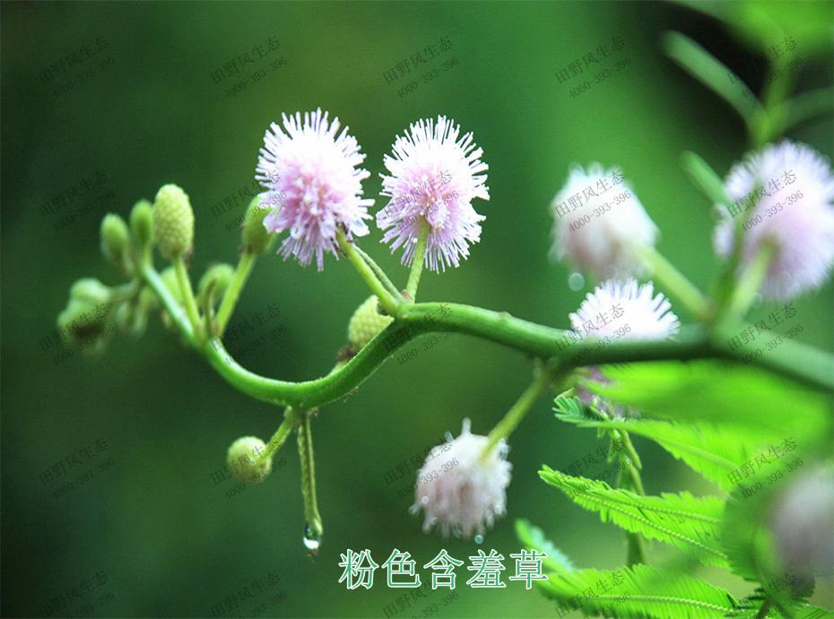 3粉色含羞草