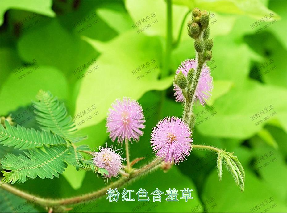 4粉红色含羞草