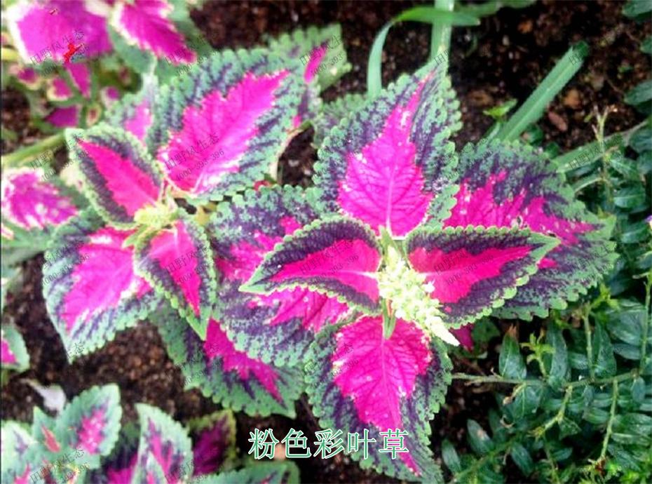 2粉色彩叶草