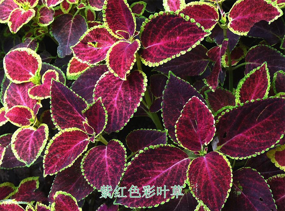4紫红色彩叶草